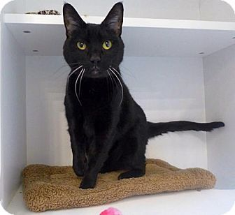 Westampton Nj Domestic Shorthair Meet C 63218 Isabella Mt Laurel Animal Hospital A Cat For Adoption Http Www Adopta Cat Adoption Animal Hospital Cats