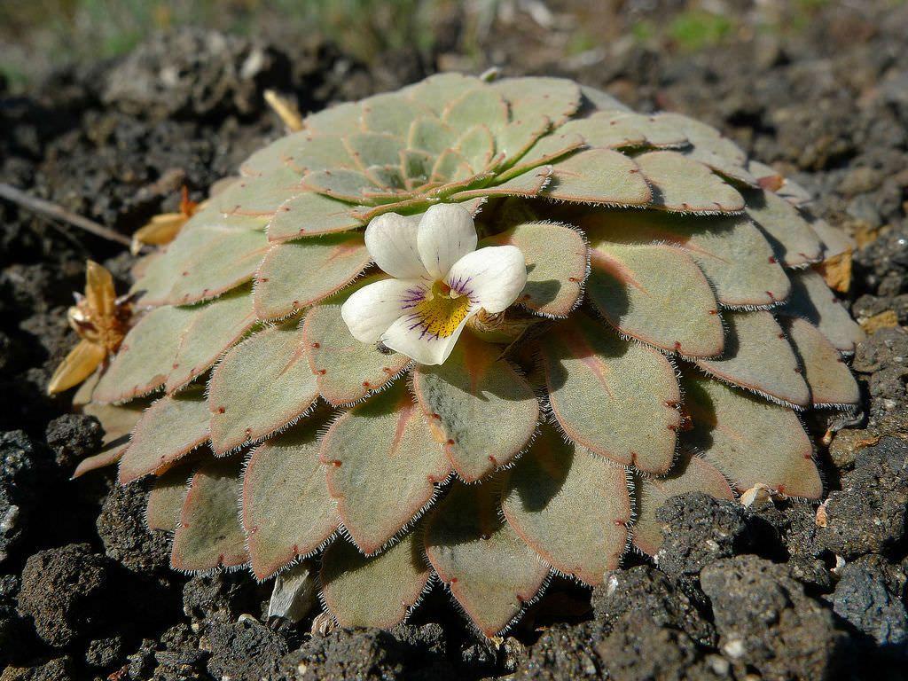 Viola Volcanica Volcanic Violet Succulents Blooming
