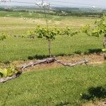 Wisconsin's booming grape crop at risk from herbicide drift