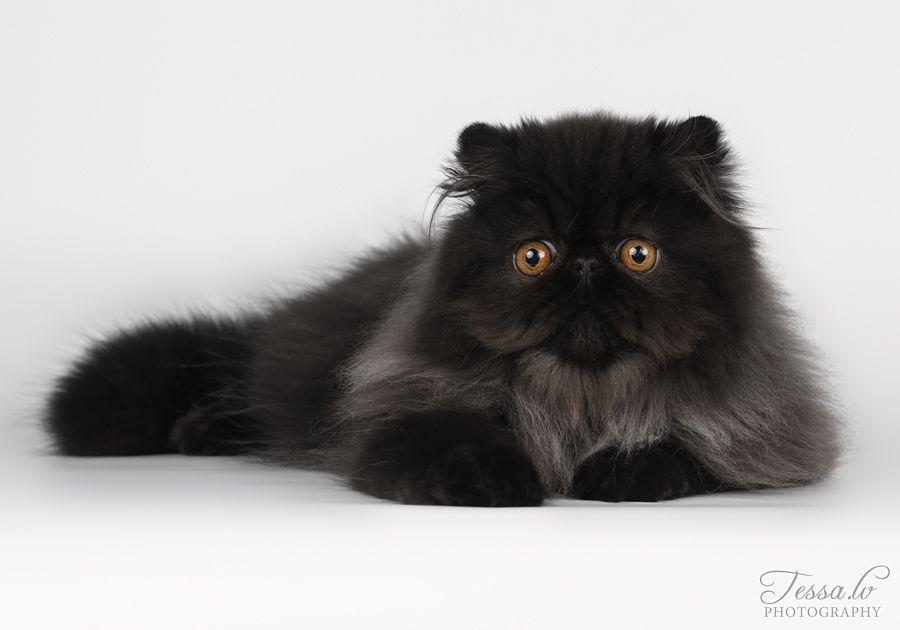 черный персидский котенок фото времена
