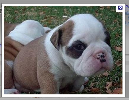 A Little Brother For Hampton Beauregard Beaufort Bulldog Australian Bulldog Bulldog Dog