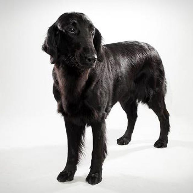 Flat Coated Retriever Best Breed Of Dog Ever Flat Coated
