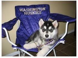 Husky Pup In Wa Huskies Chair Washington Huskies Husky Games