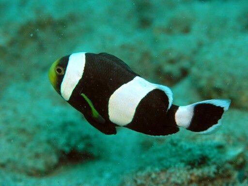 Bello pez