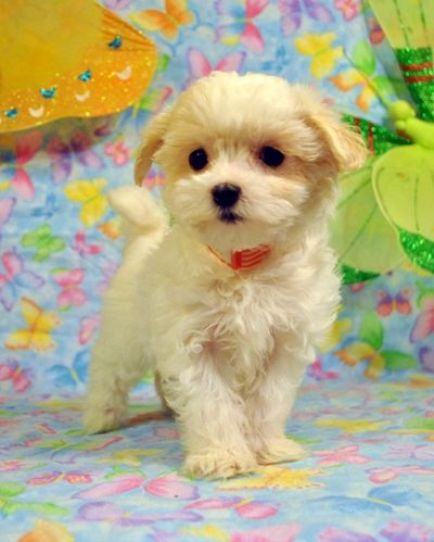 Maltipoo Puppies For Sale Massachusetts Maltipoo Puppy