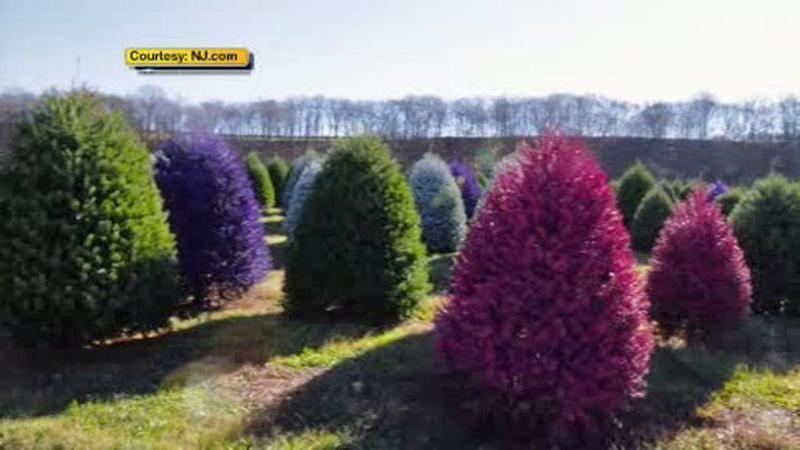 New Jersey tree farm creates colored Christmas trees - New Jersey Tree Farm Creates Colored Christmas Trees Decor