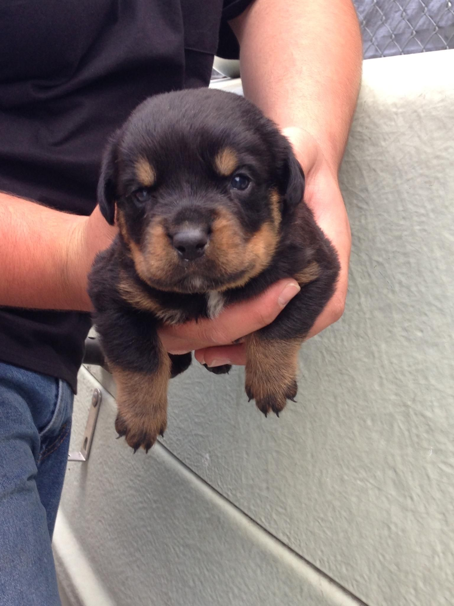 3 week old rottie we finally get to take him home this