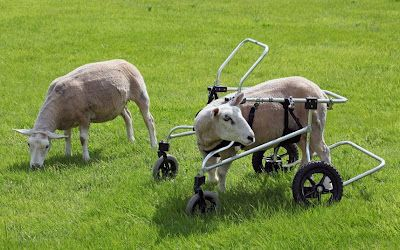 The Only Wheels Most Lambs See Are On A Shopping Trolley Buster The Disabled Sheep Is Saved From The Chop And Given Specially Designed Wheelchair Animals Animal Pictures Sheep