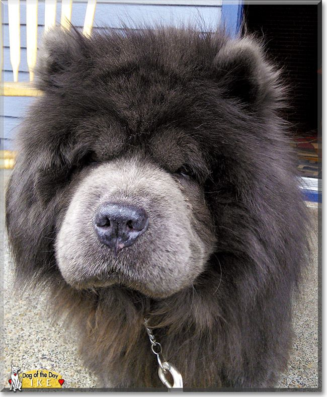 This Is Wyndy Acres My Blue Diamond A K A Ike The Chow Chow He