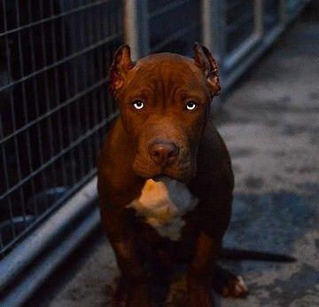 Image Result For Irish Old Family Red Pitt Bulls Pitbull Puppies