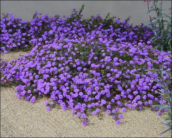 Lantana Plants Planting Flowers Desert Garden