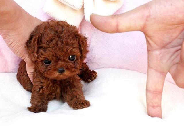 Chocolate Drop With Images Teacup Poodle Puppies Cute Little