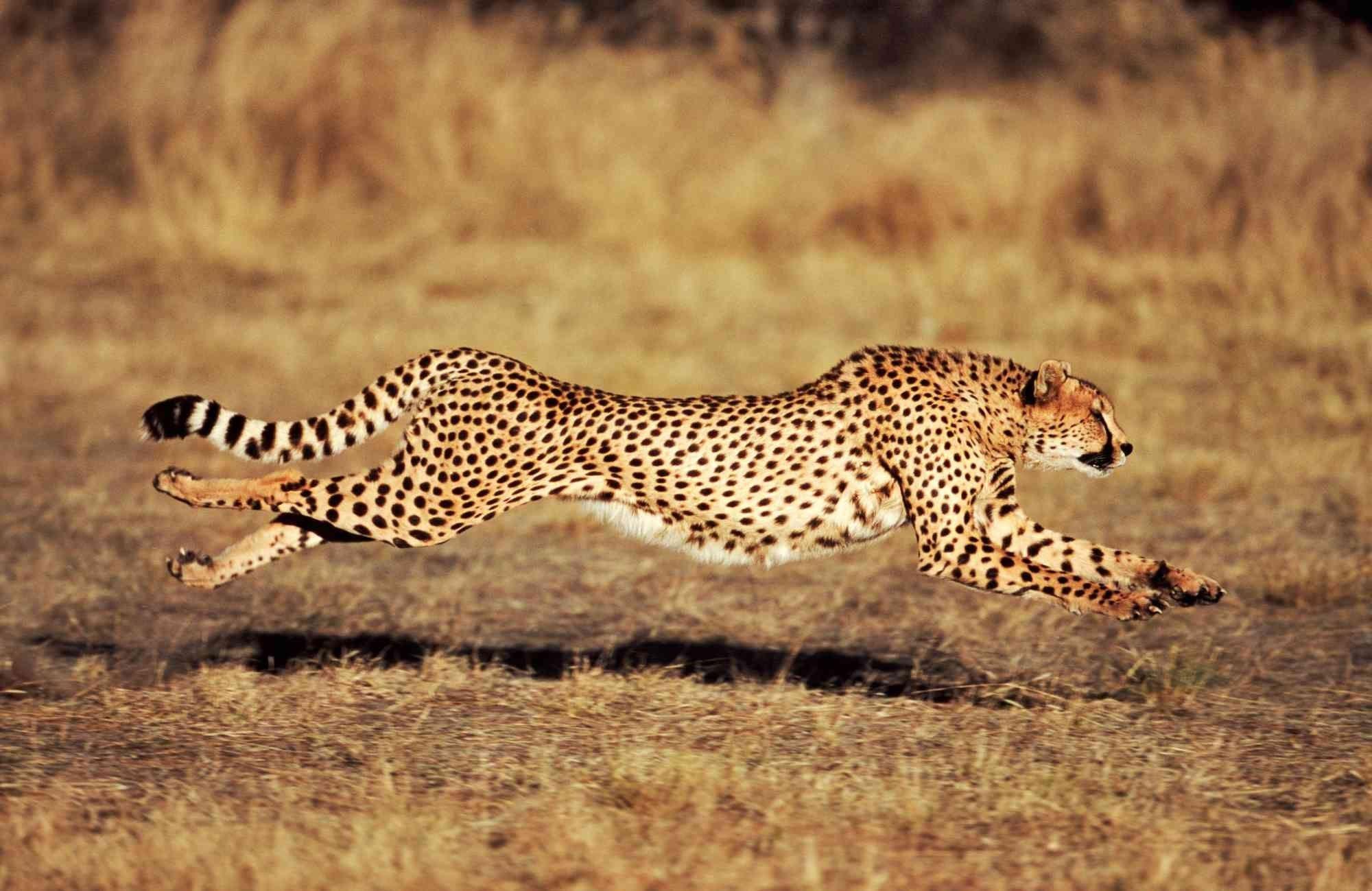 cheetah wallpaper desktop backgrounds
