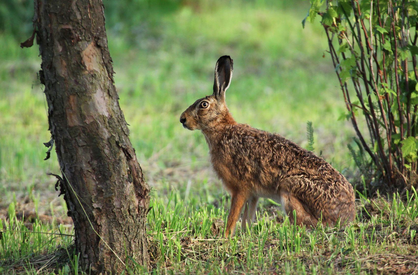 35PHOTO - Darius - Заяц.    Hare