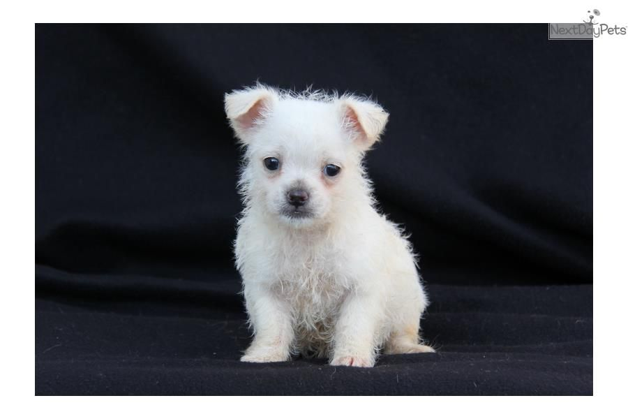 Chihuahua puppy for sale near lancaster pennsylvania