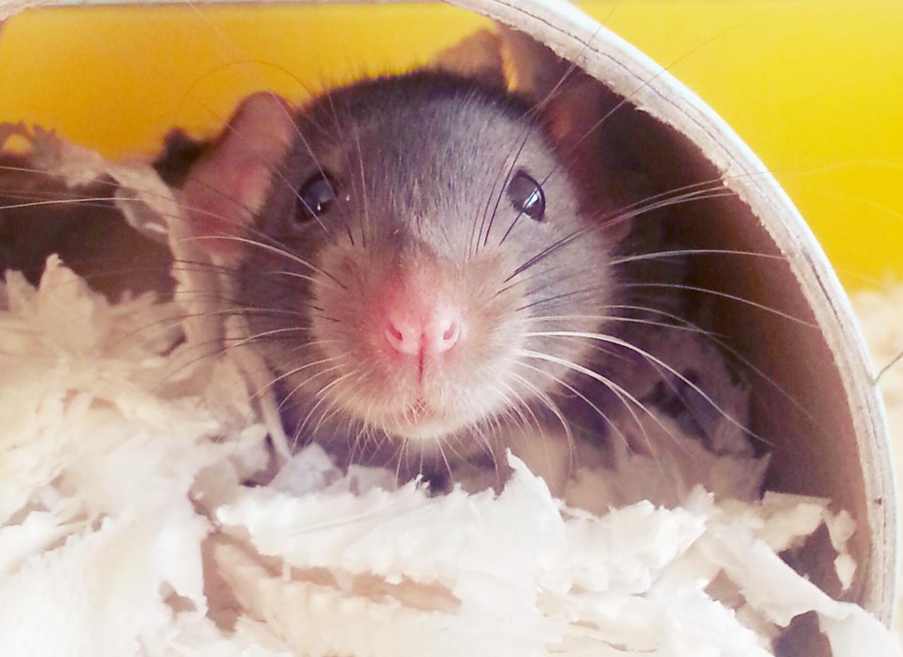 My new rat, Ezio Rats, Cute animals, Pet rats