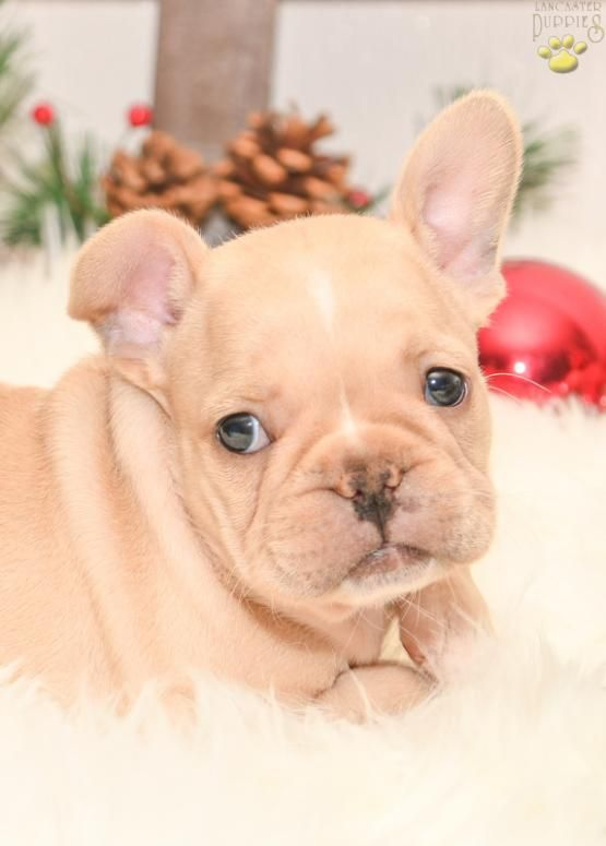 French Bulldog Frenchbulldog Puppiesofpinterest