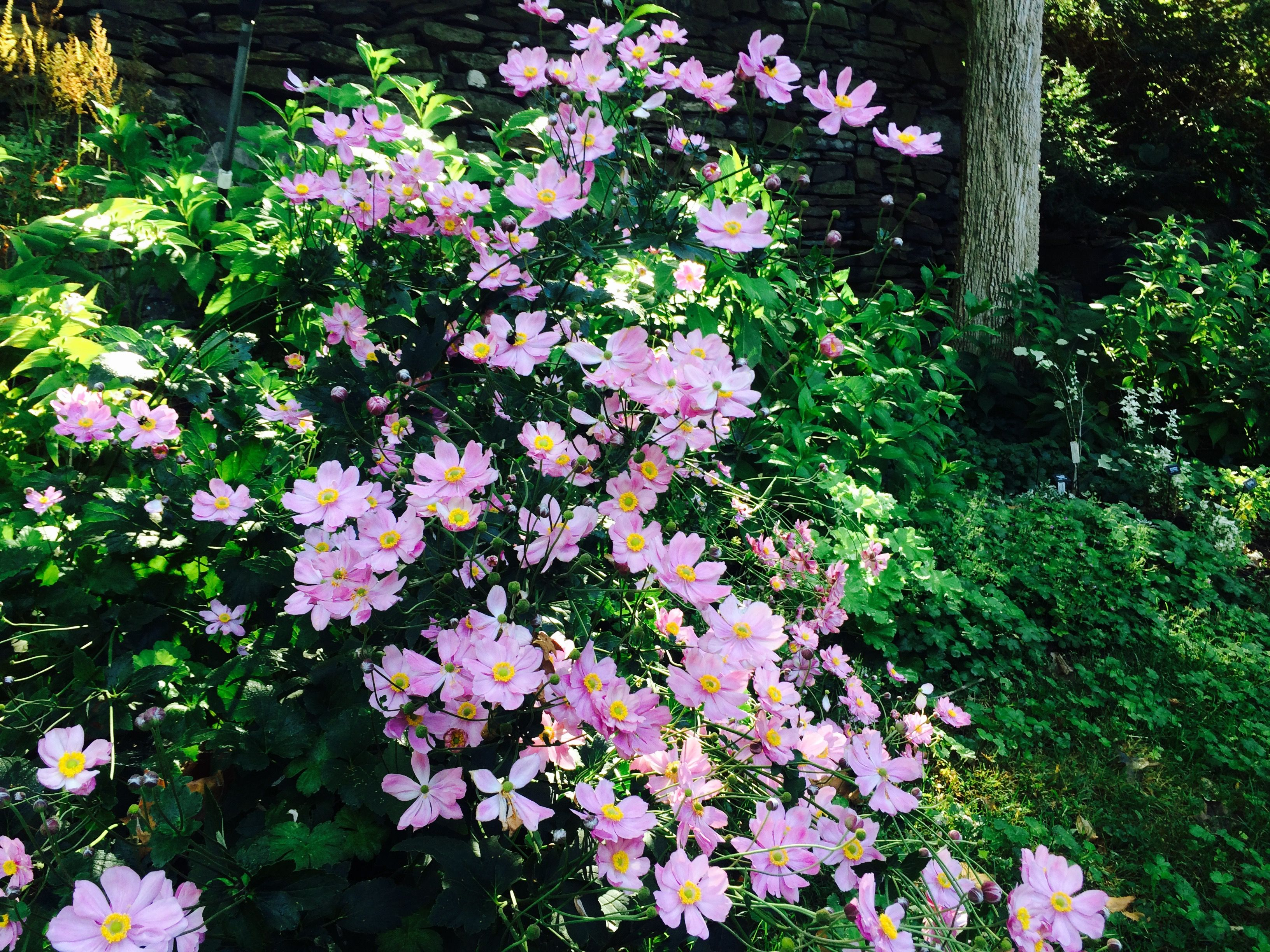 Anemone Hybrida September Charm Offers A Canopy Of Pink Blossoms In September With Images Pink Blossom Garden