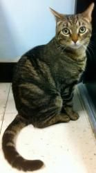 Carmine (PS) is an adoptable Tabby - Brown Cat in Staten Island, NY. Carmine is one smart boy. He walked through several backyards and decided to stay in the one belonging to a real animal lover. He g...