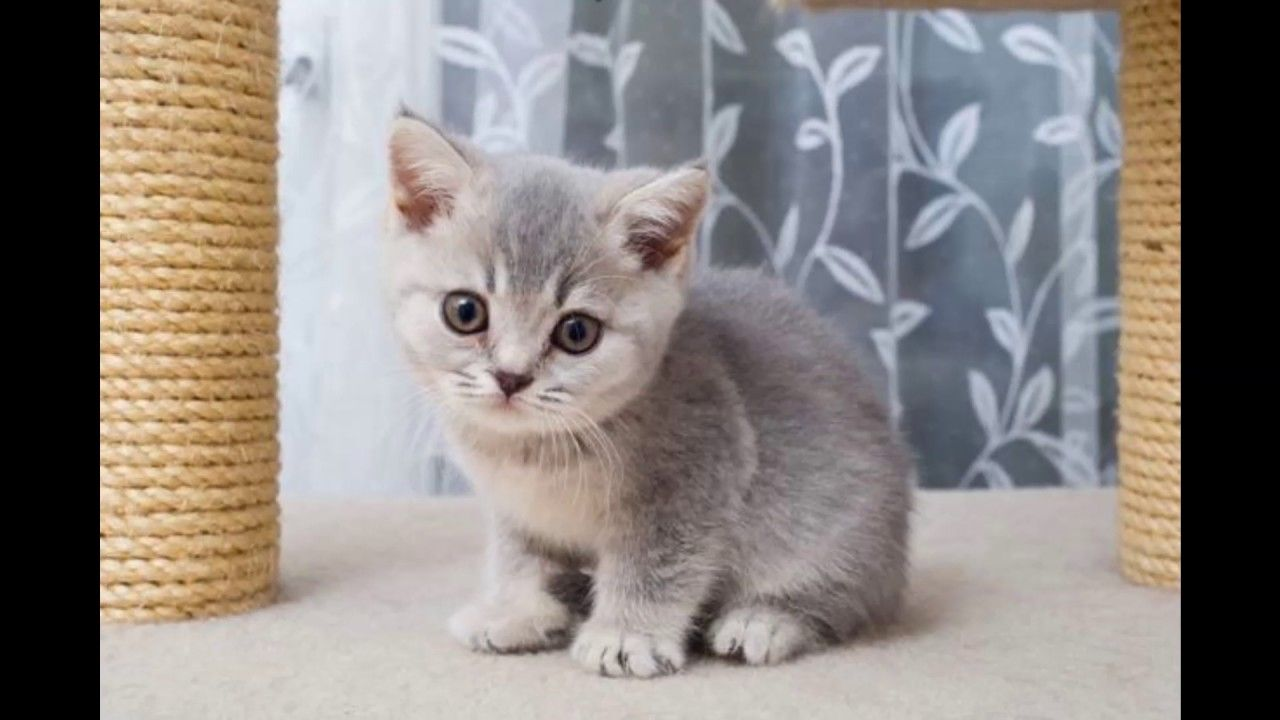 British Shorthair Cat And Kittens Charming Blue And White Breed Cat Breeds Cats And Kittens American Shorthair Cat