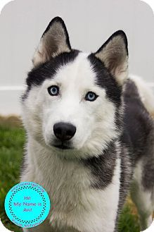 Staten Island Ny Siberian Husky Meet Avi A Dog For Adoption