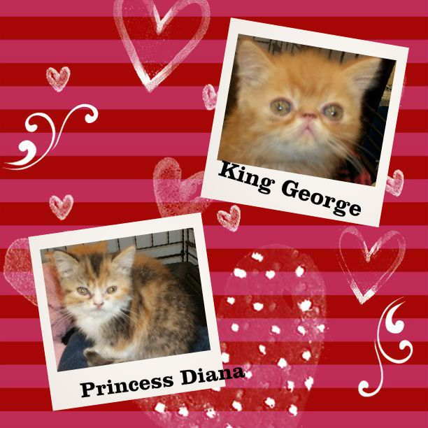 ADOPTED...PERSIAN/EXOTIC SHORTHAIRS