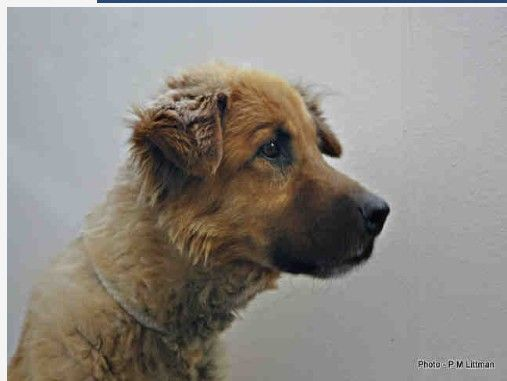 STACK - ID#A0575404  My name is STACK and I am a neutered male, brown and tan German Shepherd Dog mix.  I am currently in foster care. The shelter thinks I am about 13 years old.. I have been at the shelter since Dec 07, 2012.  Albuquerque Animal Welfare Department - Eastside