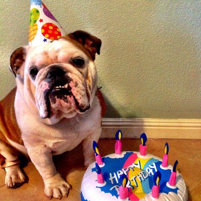 English Bulldog Bulldog Happy Birthday Bulldog Puppies Bulldog