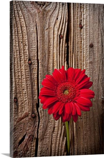 Large Solid-Faced Canvas Print Wall Art Print entitled Red gerbera daisy against wooden wall
