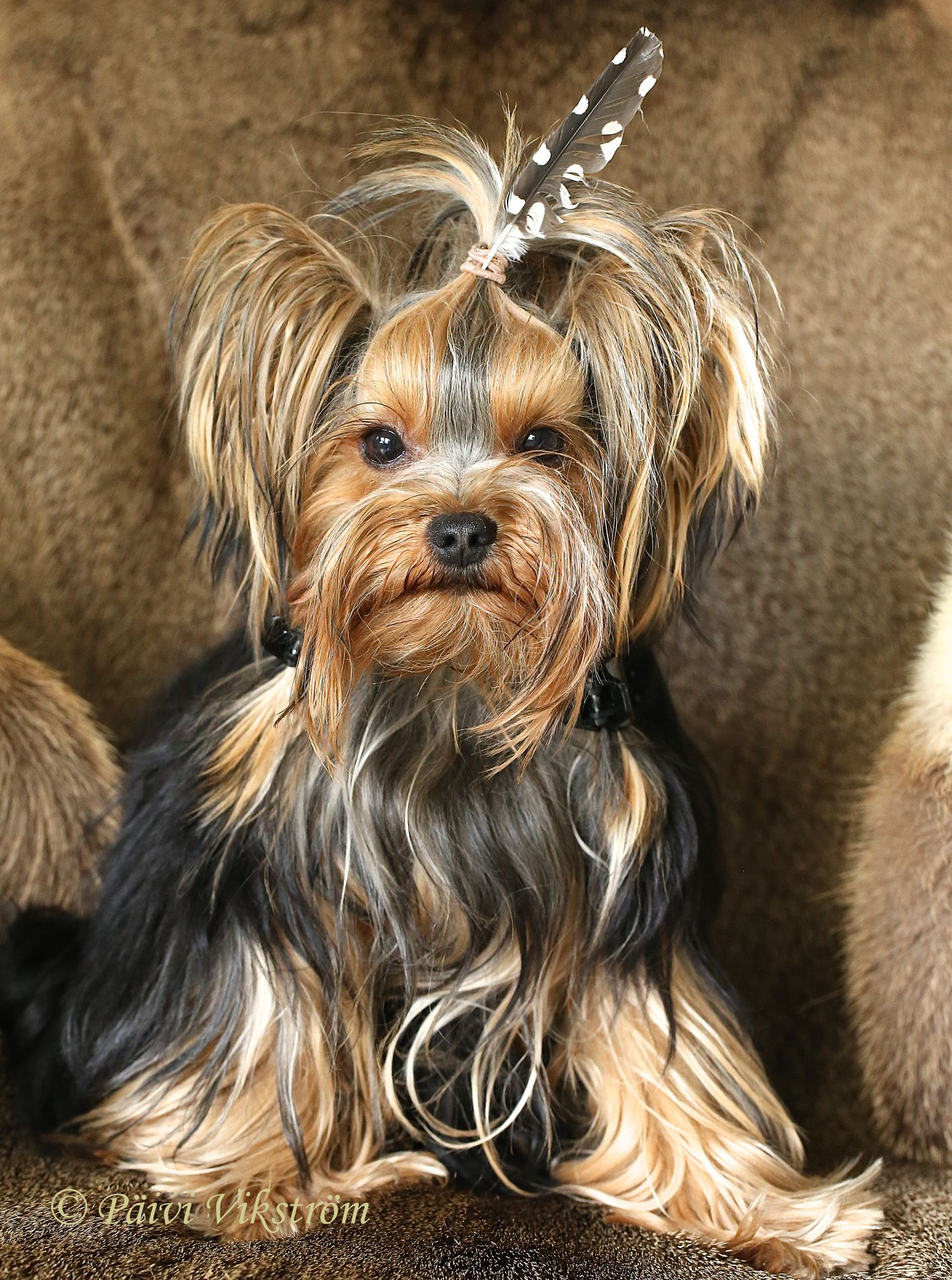 Little Hiawatha By Paivi Vikstrom On 500px Small Dog Photos Yorkie Puppy Cute Dogs Breeds