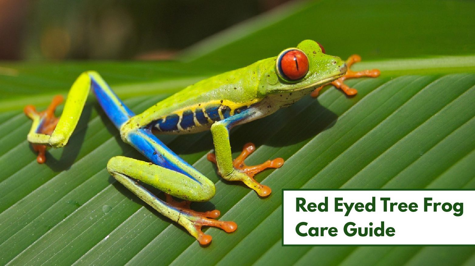 Red Eyed Tree Frog Care (The Complete Habitat, Diet, and