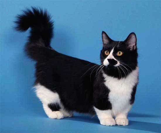 33 best images about My Past Kittens on Pinterest | Azula ...  |Tuxedo Munchkin Cat Kittens