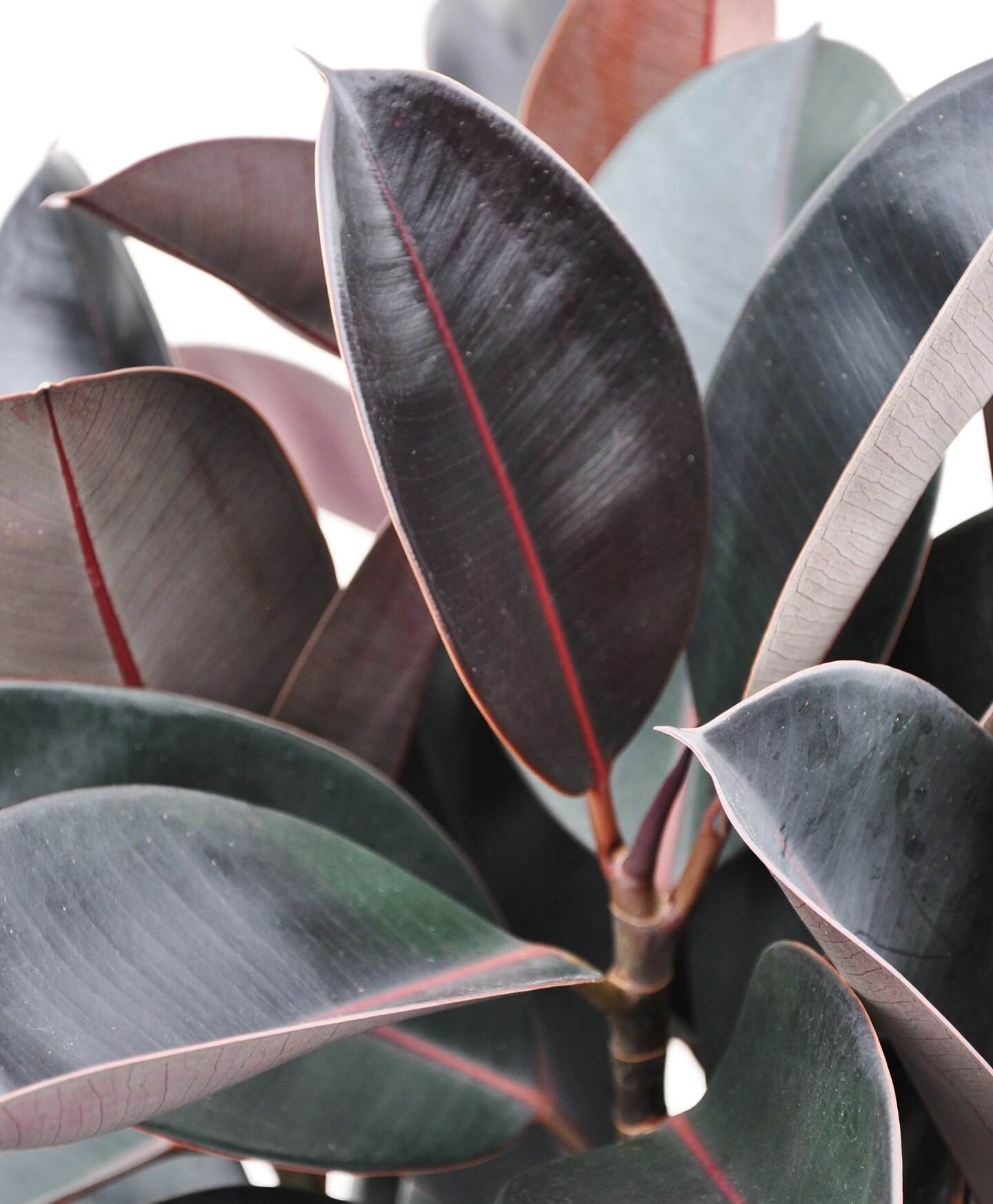 Burgundy rubber tree care guide bloomscape rubber tree