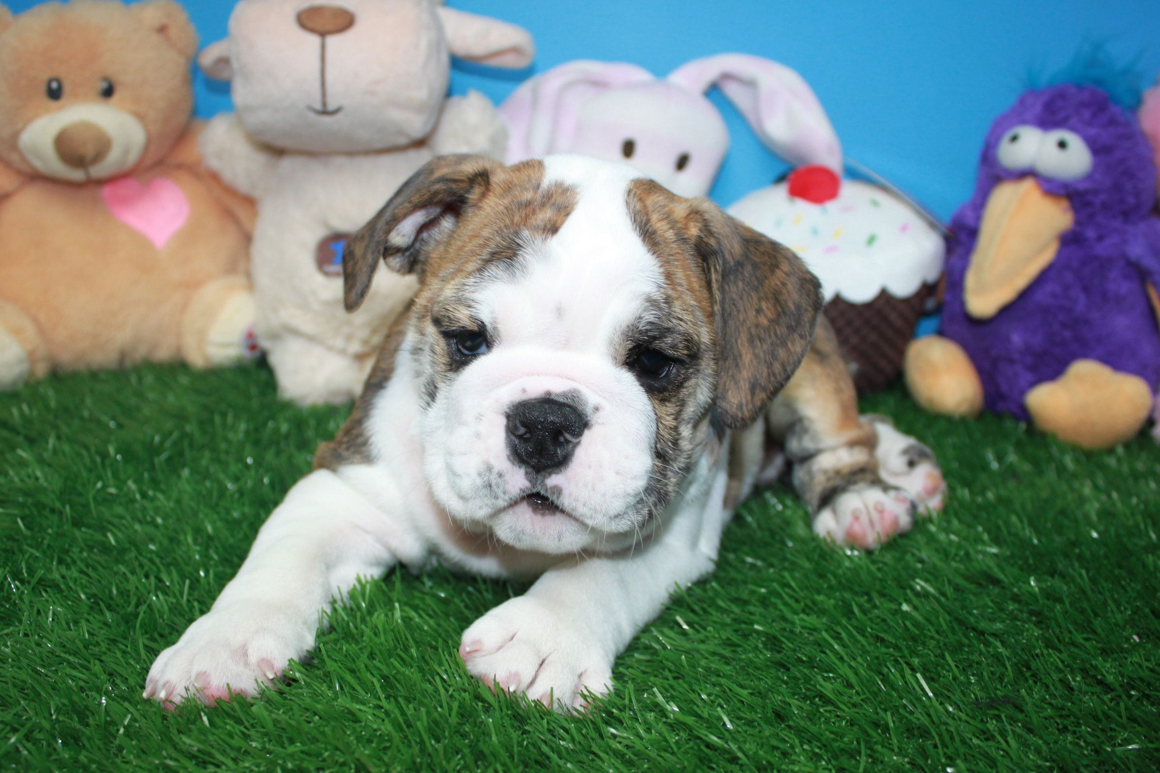 Bulldog American Bulldog French Bulldog Bulldog Puppies Bulldog