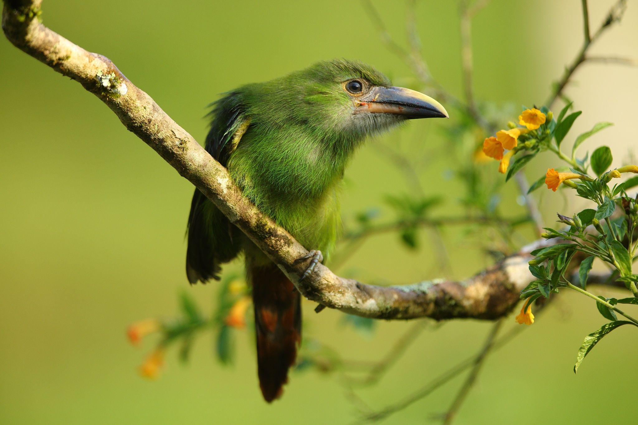 Emerald toucanet by Luz & Mario Restrepo on 500px