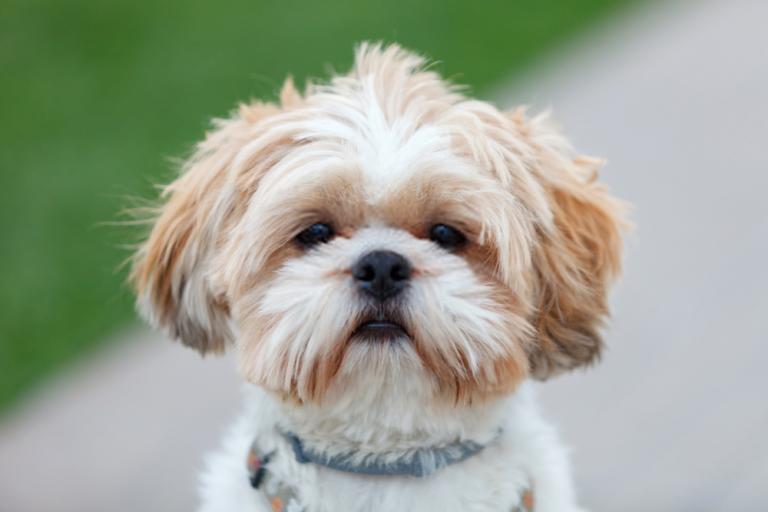 Dog Pets Zone Shih Tzu Puppy Dog Pets Zone In 2020 Dog Breeds That Dont Shed Shih Tzu Dog Shih Tzu