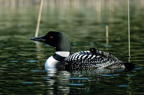 Cragun's Photo Gallery Common loon, Loon, State birds