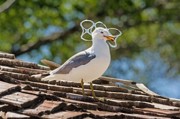 Biodegradable Beer Rings To Protect Sea Birds Animals Sea Birds Sea Animals