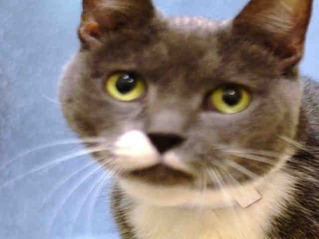 Super Urgent Senior Alert Nyc Acc Lily Id A1013988 I Am A Spayed Female Gray White Dsh Mix I Am About 10 Yrs Old Lily Is A 10 Yr Ol