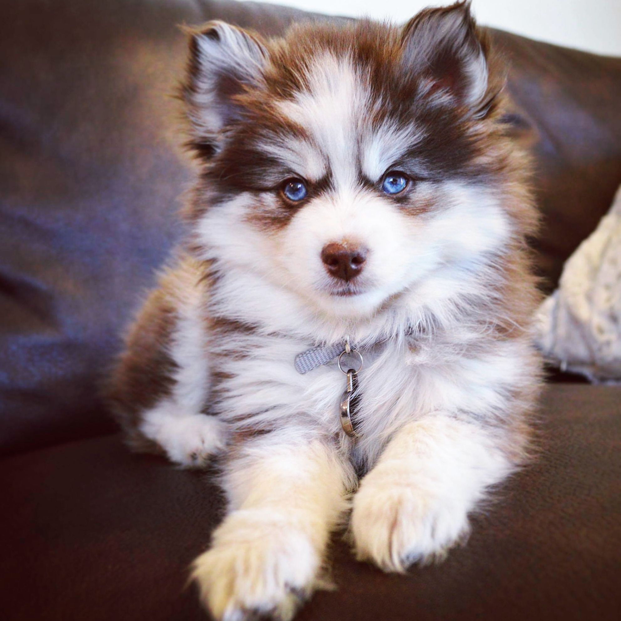 Kairi The Pomsky R Aww Pomsky Puppies Cute Baby Animals
