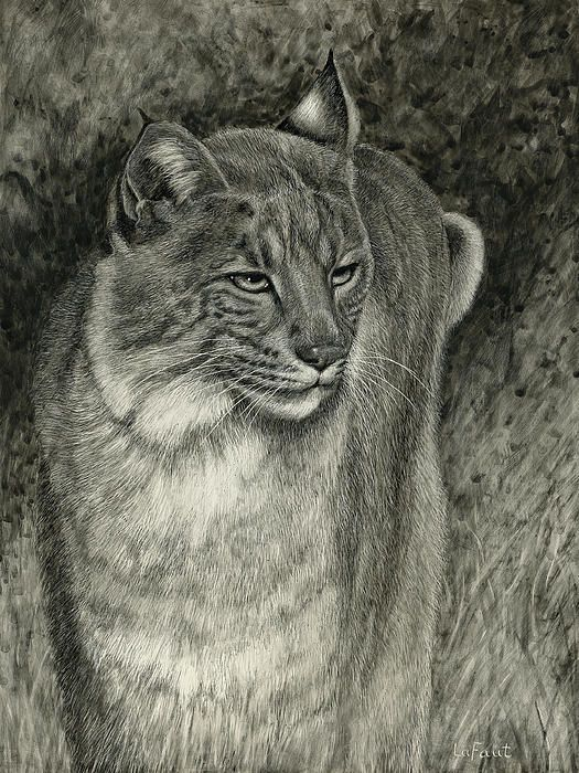 """Bobcat Emerging, 12x9"""", Scratchboard art, from my own photo references, Sandra LaFaut A single bobcat emerges from the shadows looking around watchfully."""