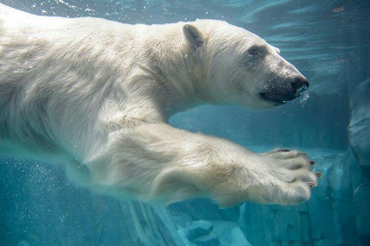 My Mastiff Of Choice Is The Polar Bear St Louis Zoo Polar Bear Baby Polar Bears