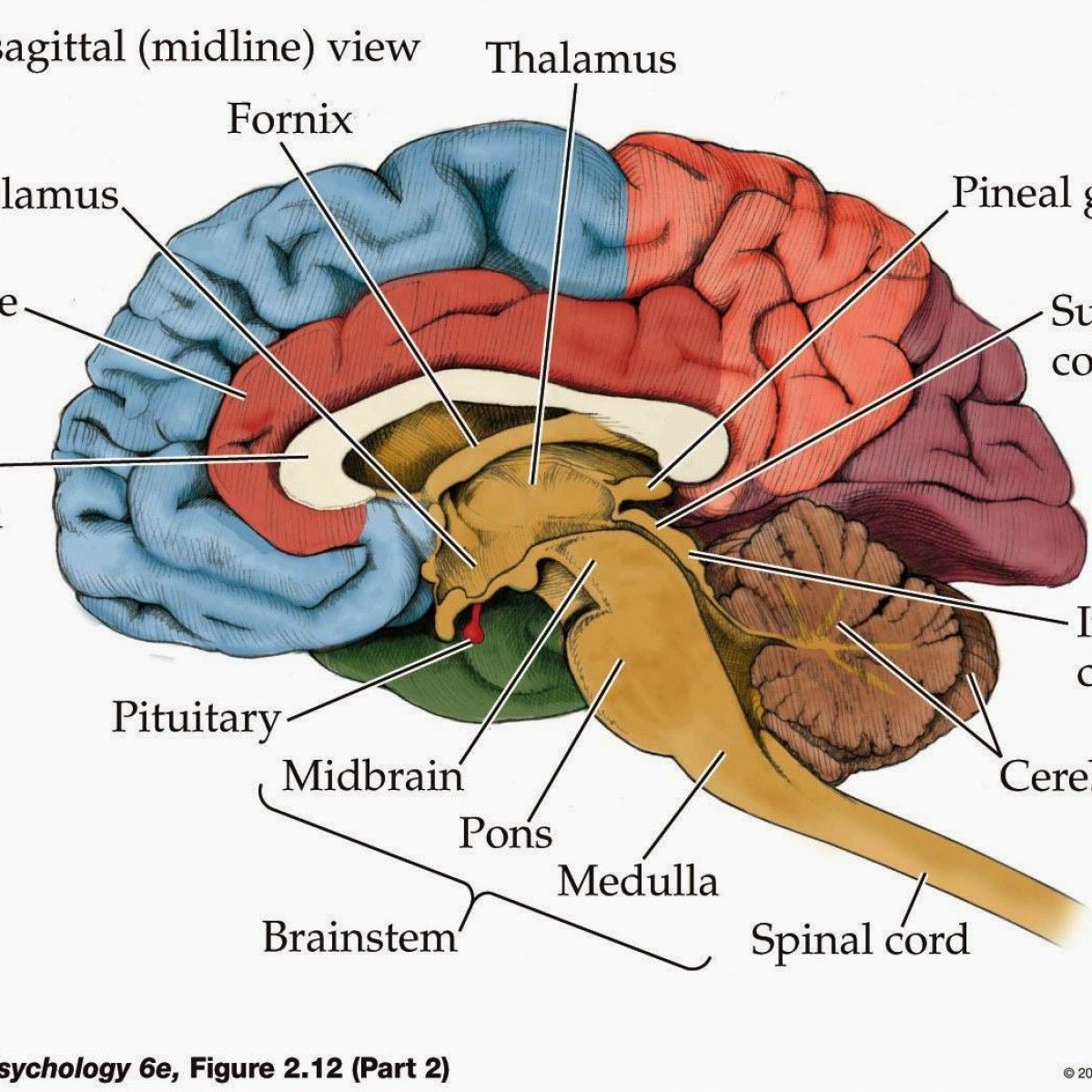 Anatomy Of Brain Game Pictures Top At Best Brain Diagram Brain Anatomy And Function Human Brain Anatomy