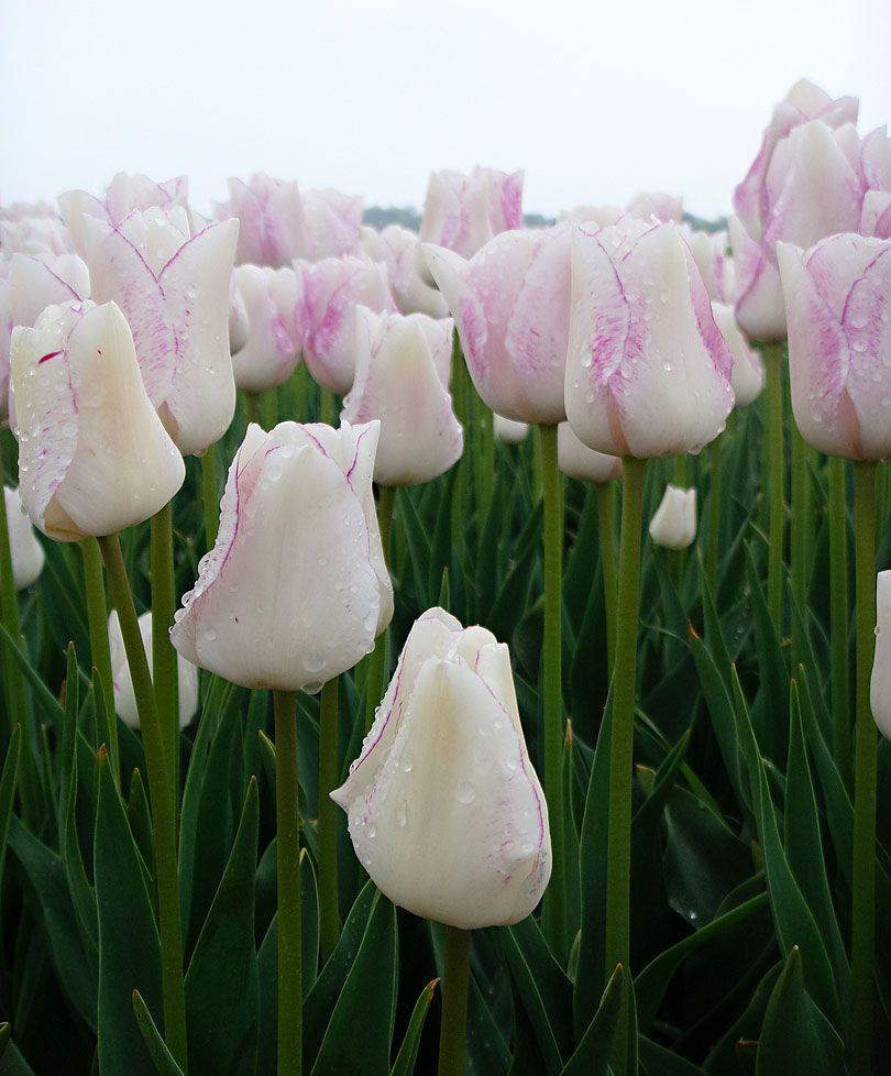 Tulip Julie Sobel Flower Bulbs From Spalding Bulb Bulb Flowers Tulips Beautiful Flowers