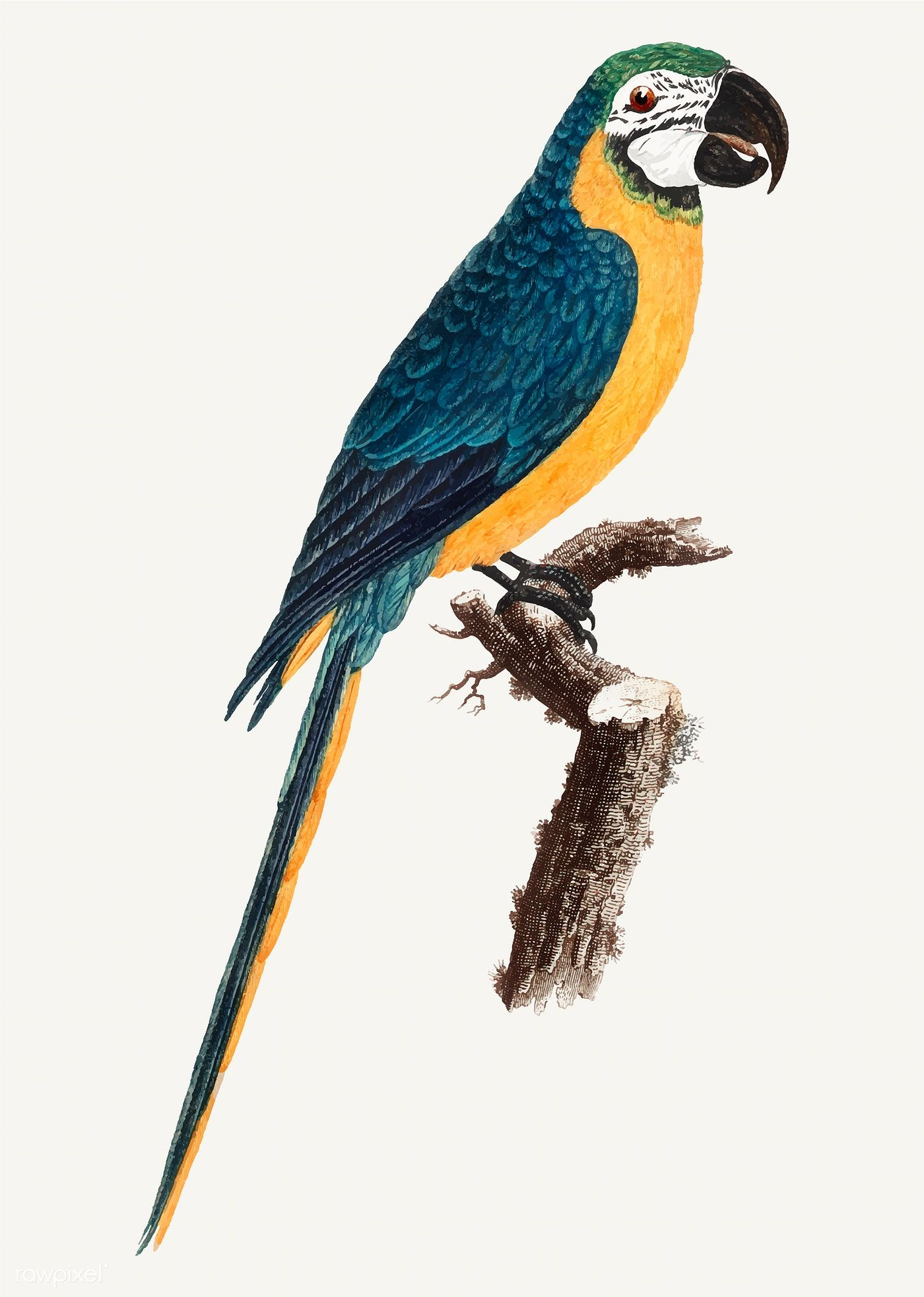 Blue And Yellow Macaw Vintage Illustration