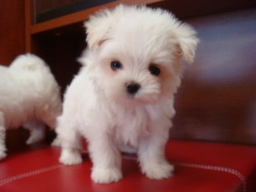 Melts Into Ade Puddle Of Love Teacup Puppies Maltese Maltese