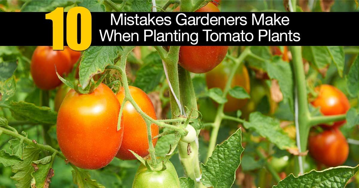 10 Rules For Success With Growing Tomatoes Tomato Plants
