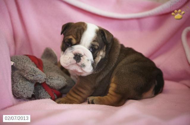 Bulldozer English Bulldog Puppy For Sale In Denver Pa English Bulldog Puppy For Sale Bulldog Puppies English Bulldog Bulldog Puppies For Sale