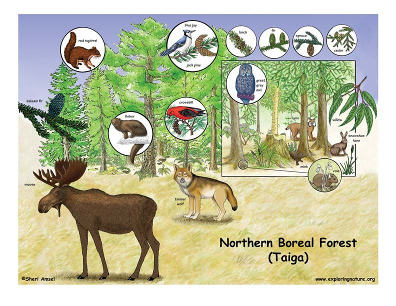 Northern Boreal Forest (Taiga) Boreal forest, Biomes