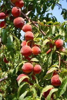 Harvester Peach Tree Fast Growing Trees Fruit Cocktail Tree Peach Trees